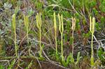 StagS-Horn Clubmoss (Lycopodium clavatum)
